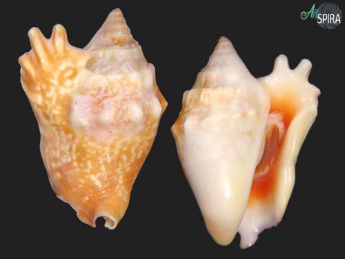 Euprotomus bulla
