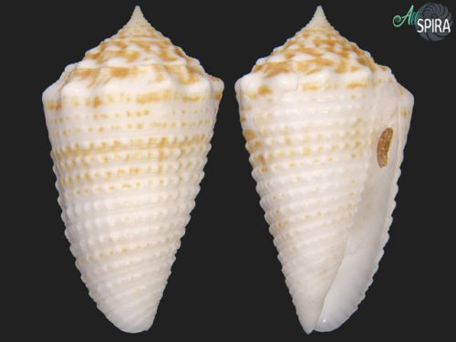 Conus samiae