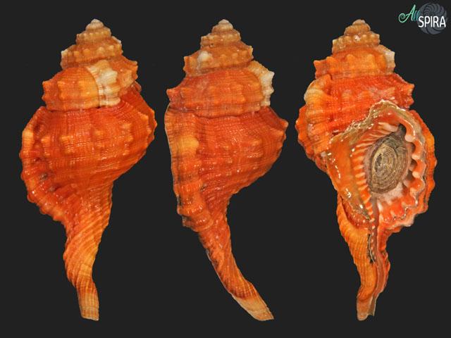 Ranularia pyrum