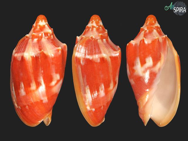 Cymbiola aulica