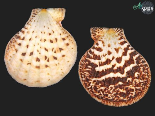 Semipallium flavicans