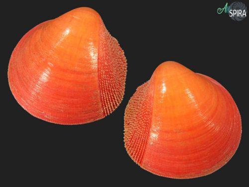 Nemocardium bechei