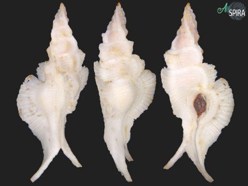 Pterynotus alatus
