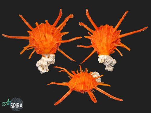 Spondylus regius