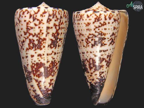 Virgiconus thalassiarchus