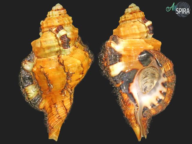 Lotoria grandimaculata