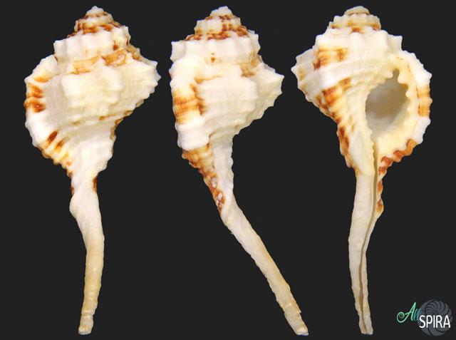 Ranularia exilis