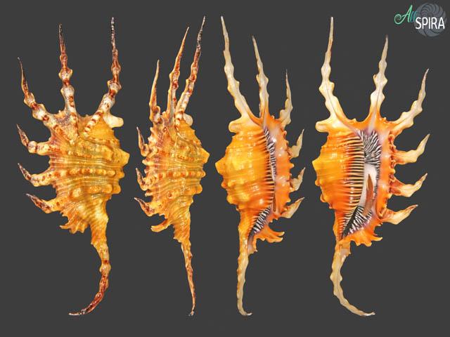 Lambis scorpius