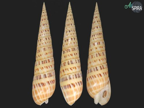 Terebridae