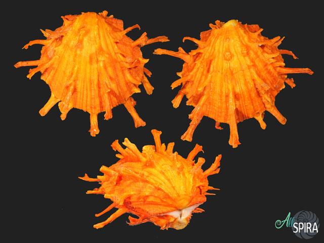 Spondylus foliaceus f croceus