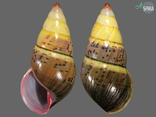 Amphidromus semicinereus