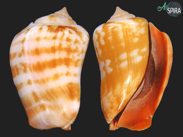Conomurex luhuanus FREAK