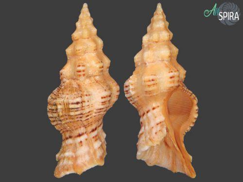 Nodolatirus recurvirostra