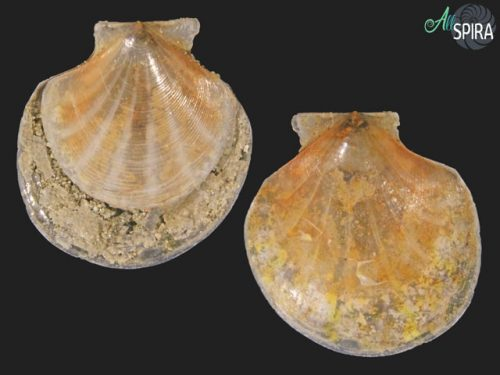 Parvamussium jeffreysii
