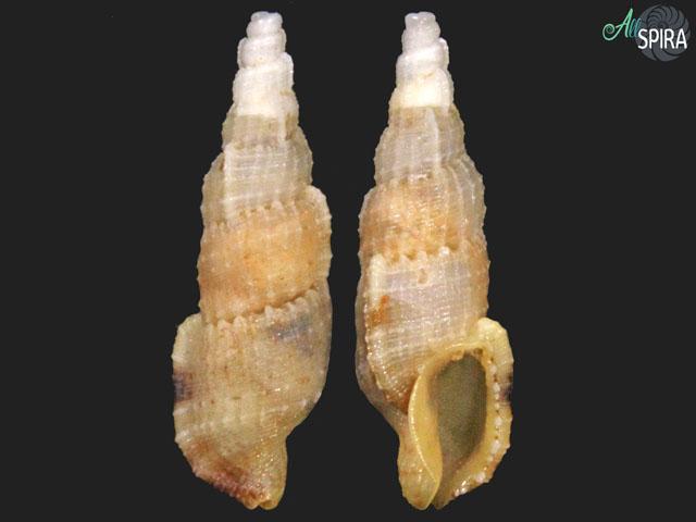 Tritonoharpa antiquata