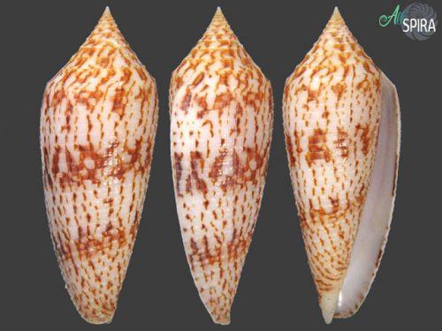 Conus australis f duplicatus