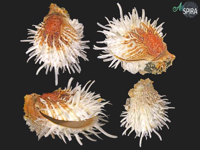 Spondylus albibarbatus