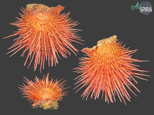 Spondylus visayensis