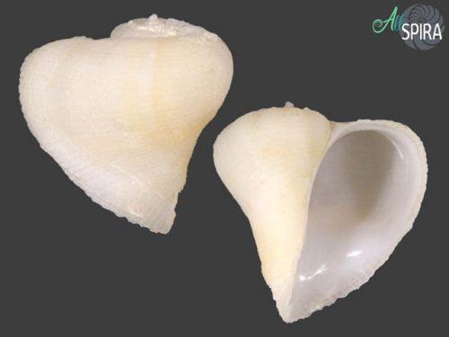 Coralliophila mallicki