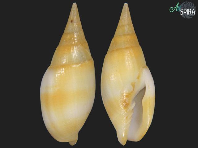 Nebularia acuminata