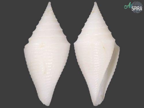 Conus beatrix