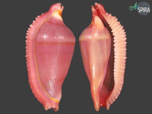 Dentiovula dorsuosa