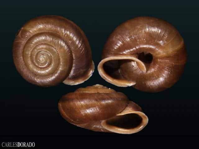 Chilostoma squammatinum