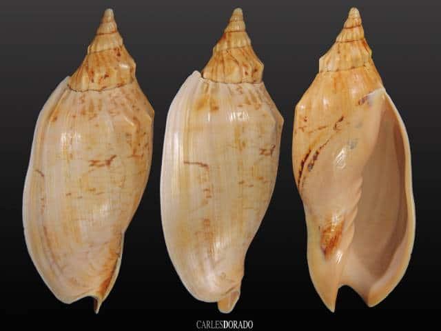 Alcithoe arabica f. swainsoni