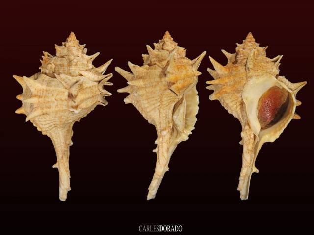 Bolinus brandaris f. trispinosus