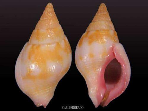 Euthria boavistensis