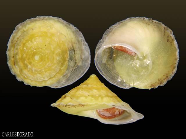 Geotrochatella jourdyi