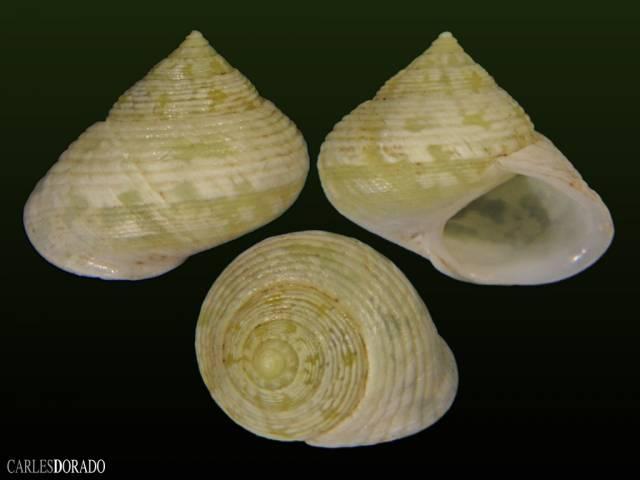 Eutrochatella pulchella