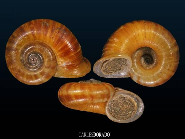 Pterocyclus danieli