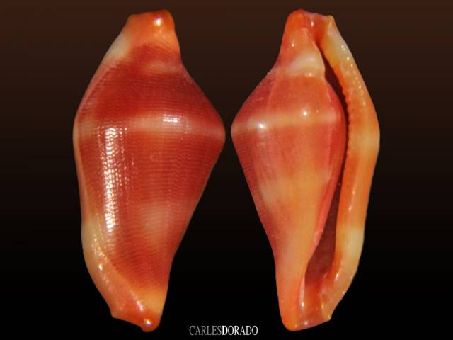 Dentiovula takeoi