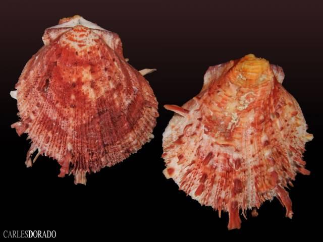 Spondylus tenuis