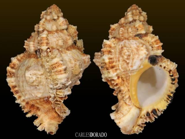 Phyllonotus oculatus