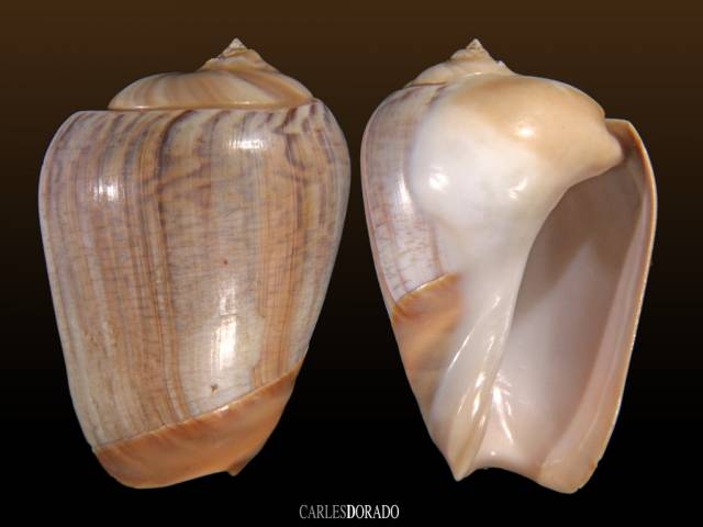 Olivancillaria urceus