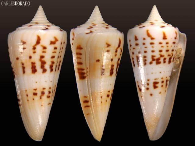 Conus monile