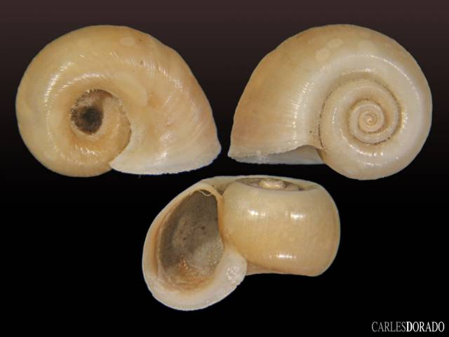 Biomphalaria costata