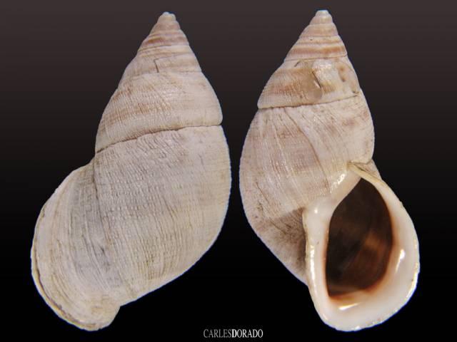 Scutalus chiletensis granulatus
