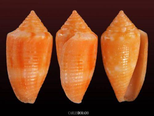 Conus damasoi