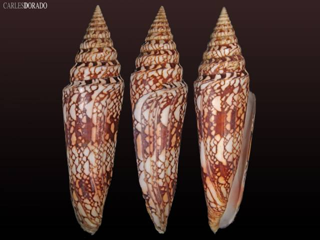 Conus milneedwardsi clyptospira