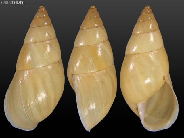 Drymaeus vexillum