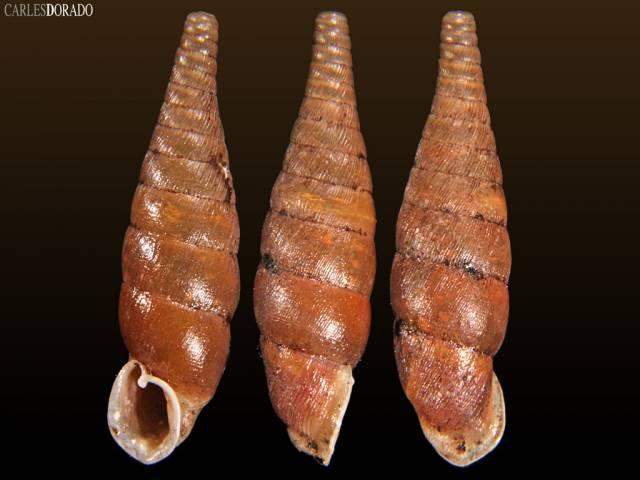 Euxina mazandaranica