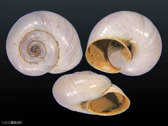 Vidovicia coerulans