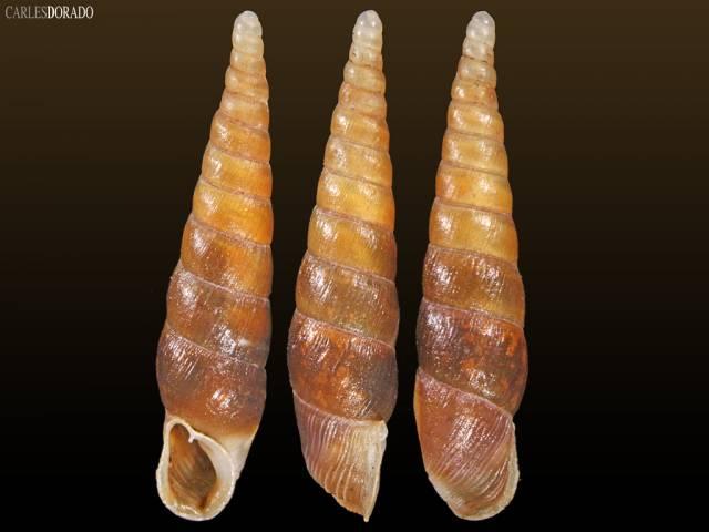 Likharevia gilanensis gilanensis