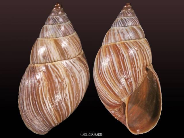 Bulimulus quitensis