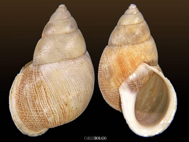 Scutalus chiletensis sp.