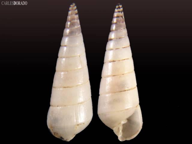 Pyramidella conica