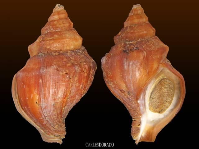 Neptunea middendorffiana